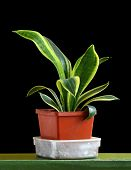 picture of sansevieria  - Sansevieria trifasciata in flowerpot isolated on black background - JPG