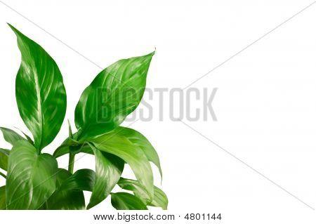 Green Leafs 10