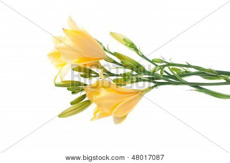 Fresh Yellow Day Lilies Isolated On White Background