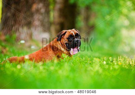 german boxer dog portrait outdoors