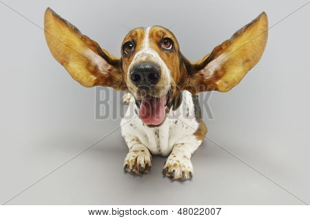 Basset hound sitting down with ears extended against gray background