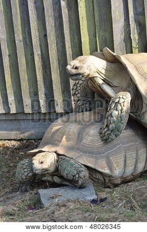 Two Tortoises Mating