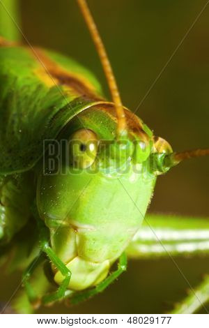 Grasshopper Close-up