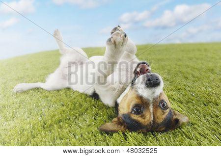 Jack Russell terrier acostada sobre la espalda en el pasto con extender la pata