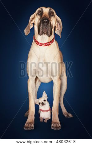 Brazilian mastiff (Fila brasileiro) standing over Chihuahua against blue background