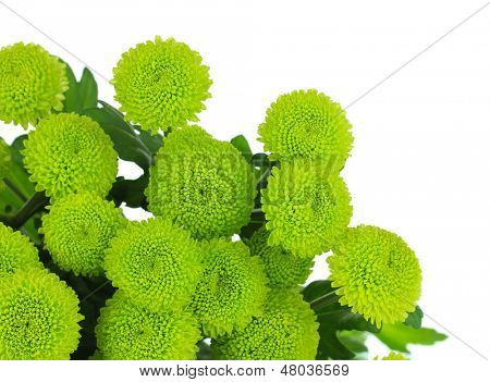 Beautiful green chrysanthemum isolated on white