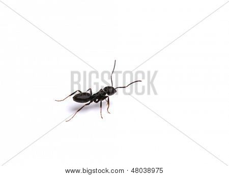 Black ant, isolated on white