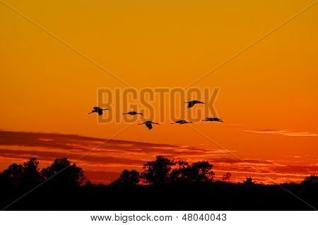 Silhouettes Of Sandhill Cranes Flying At Sunset