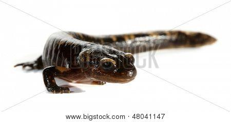 Triturus amphibian newt
