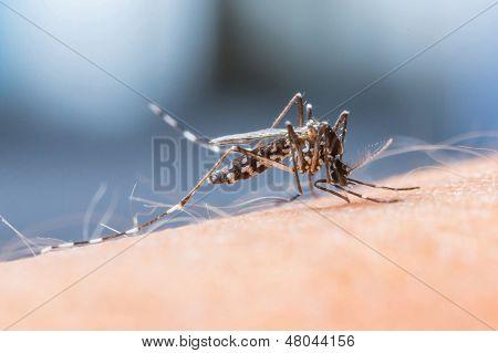 Mosquito Sucking Blood_set B-1