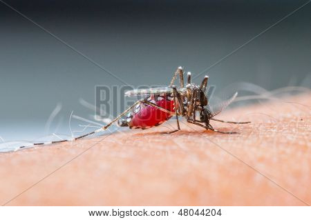 Mosquito Sucking Blood_set B-2