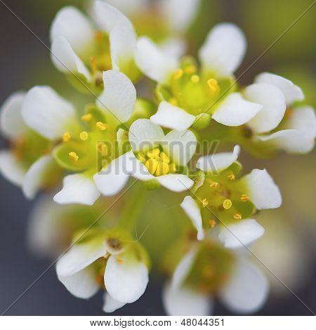 white yarrow flower