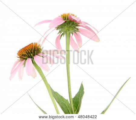 Echinacea flowers isolated on white