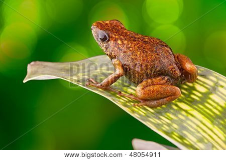Tropical poison dart frog Ecuador Amazon Rainforest Exotic amphibian from the deep rain forest a small poisonous animal with bright red orange colours