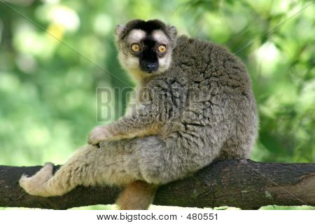 Arboreal Lemur