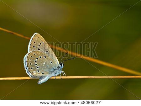 Scarce Large Blue (Maculinea teleius) Butterfly