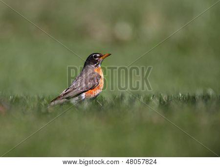 Little Robin bird in the grass