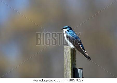 Beautiful little tree swallow bird on the pole