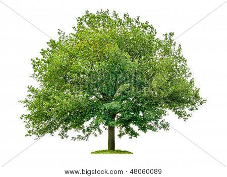 isolated oak tree on a white background