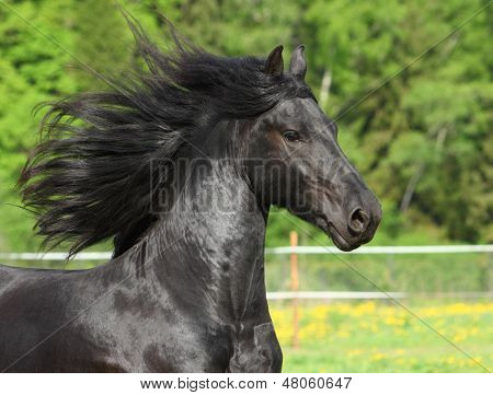 Black Friesian horse in field