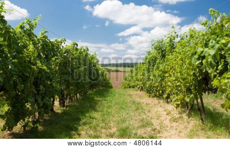 Grape Garden In Moravia