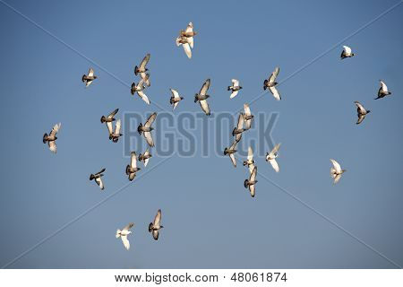 Many flying pigeons on a blue summer sky in Malta, popular birds in Malta, birds migration
