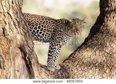 Wild Leopard In A Tree