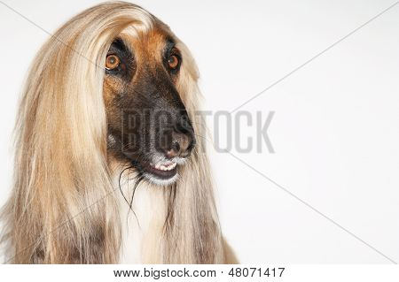Closeup of Afghan hound against white background