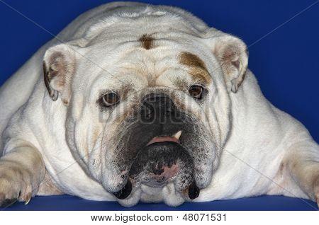 Closeup of a British bulldog lying down against blue background