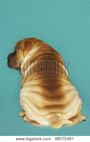 Rear view of a Sharpei sitting against turquoise background