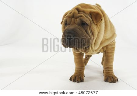 Cute Sharpei standing against white background