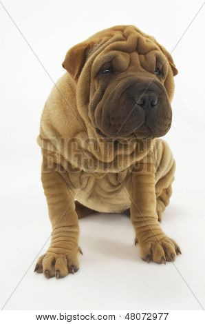 Cute Sharpei sitting against white background