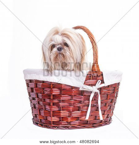 Pretty young shih tzu on a white background.