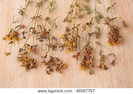 Dried Flowers St. John's Wort
