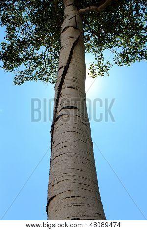 Aspen Tree...