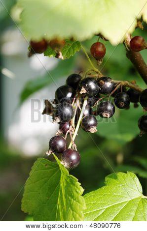 Black currant (Ribes nigrum)