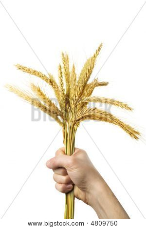 Hands Holding Bundle Of The Golden Wheat Ears