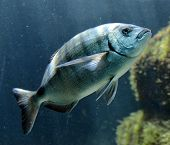 picture of gag  - Grouper fish in the aquarium in France - JPG