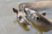 stock photo of tapir  - young and adult tapir swimming  in water - JPG