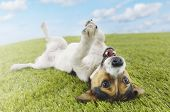 stock photo of white terrier  - Jack Russell terrier lying on back in grass with extending paw - JPG