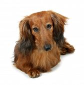 pic of long-haired dachshund  - Dog long - JPG