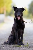 image of mongrel dog  - The black dog sits on the road - JPG