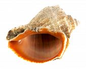 stock photo of oceanography  - empty sea shell isolated on white background - JPG
