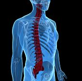stock photo of spinal-column  - 3d rendering of Spine Vertebrae  - JPG