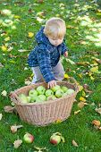 foto of crip  - Little toddler boy with basket full of apples in autumn garden Germany - JPG