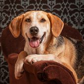 stock photo of foxhound  - Portrait of a foxhound beagle cross - JPG