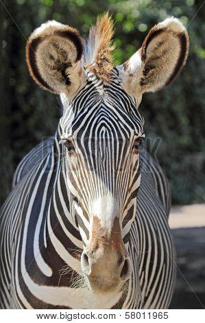 Portrait Of A Common Zebra
