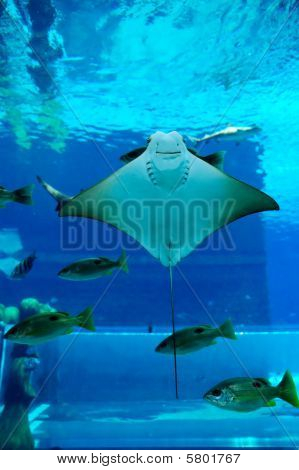 Smiley Ray In The Aquarium Of Atlantis The Palm Hotel's Waterpark, Dubai, Uae