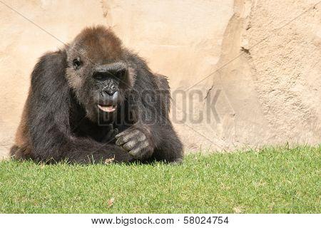 Male Silverback Gorilla, Single Mammal On Grass