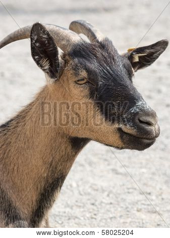 Head Shot Of A Brown Goat In A Farm